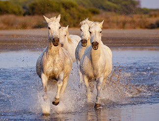 Horses white in the wild
